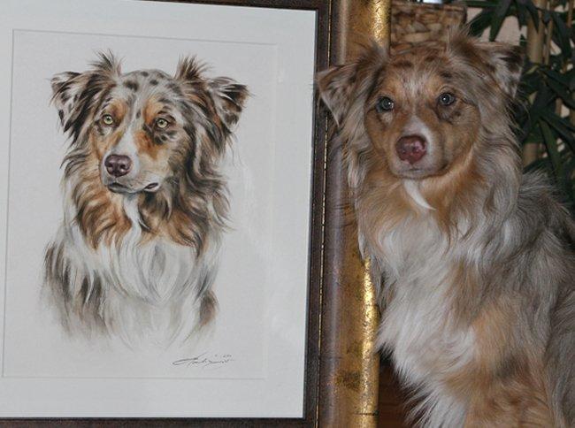 Portrait Zeichnung Australian Shepherd Aquarell nach Foto