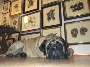 Englischer Mastiff Portrait Modell im Atelier