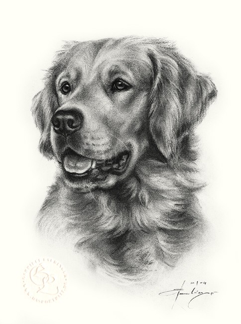 hund_golden_retriever_k_o