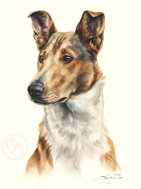 Collie Kurzhaar  Aquarell   Hundeportrait