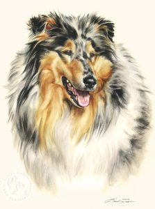 Collie Aquarell   Hundeportrait