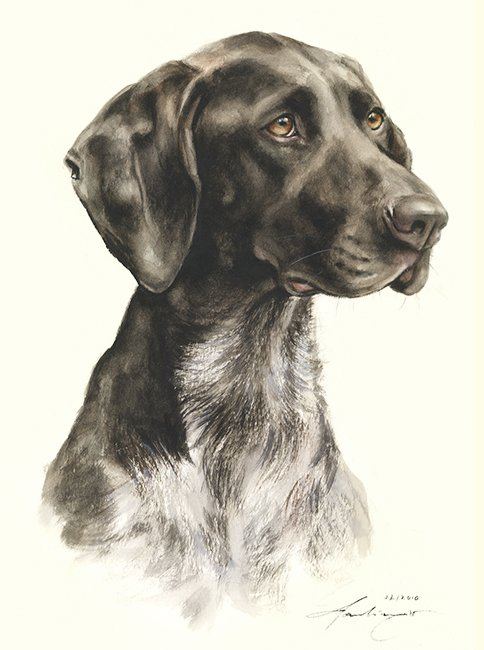 Deutsch Kurzhaar  Aquarell   Hundeportrait