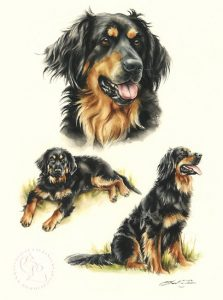 Hovawart Aquarell   Hundeportrait