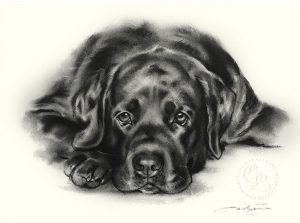 Labrador Retriever  Zeichnung   Hundeportrait