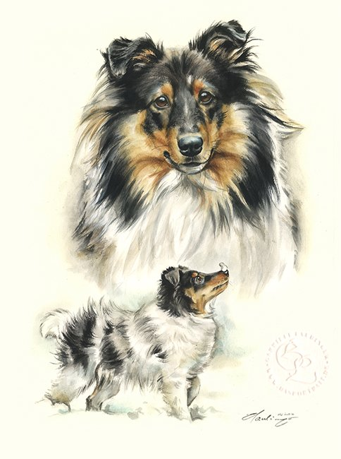 Sheltie Aquarell   Hundeportrait
