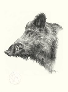 Wildschwein Zeichnung   Tierportrait