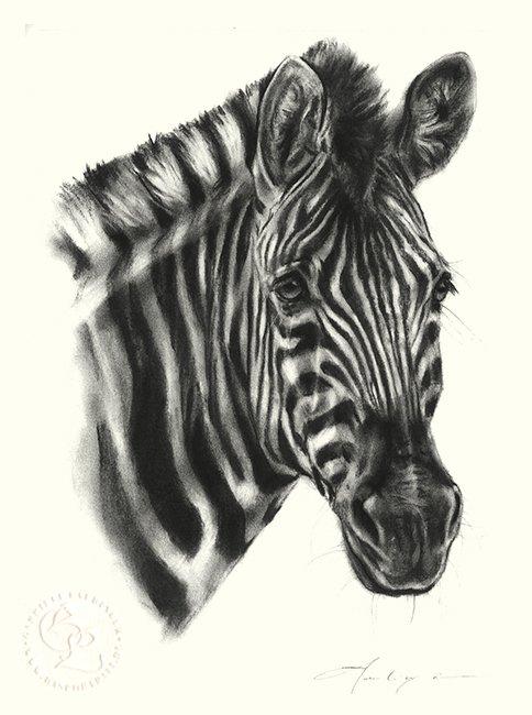 Zebra Zeichnung   Tierportrait